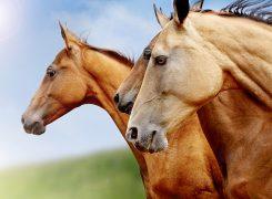 Badanie laboratoryjne w monitorowaniu stanu zdrowia i postępów treningowych u koni wyścigowych